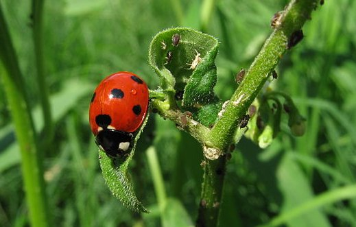 519px-Ladybug_aphids