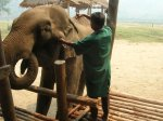 Elephant Nature Camp vet treats an abscess