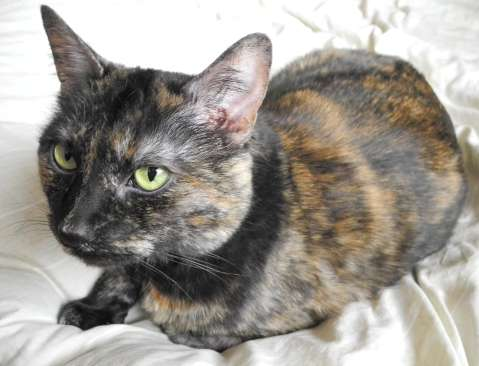 A tortoiseshell cat sitting on a duvet looking attentively